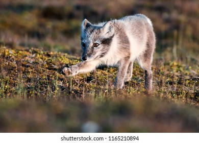 Landscape with wild polar fox. Summer Svalbard.   On the Sunset, Norway. Wildlife scene from nature Spitsbergen