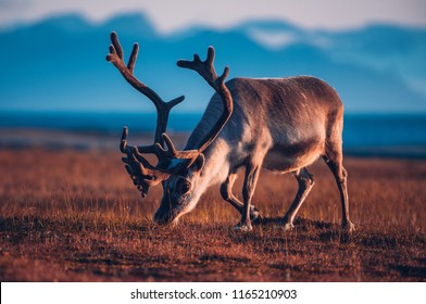 Landscape with wild reindeer. Summer Svalbard.  with massive antlers horns deer  On the Sunset, Norway. Wildlife scene from nature Spitsbergen