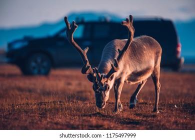 Landscape with wild reindeer. Summer Svalbard.  with massive antlers horns deer  On the Sunset, Norway. Wildlife scene from nature Spitsbergen