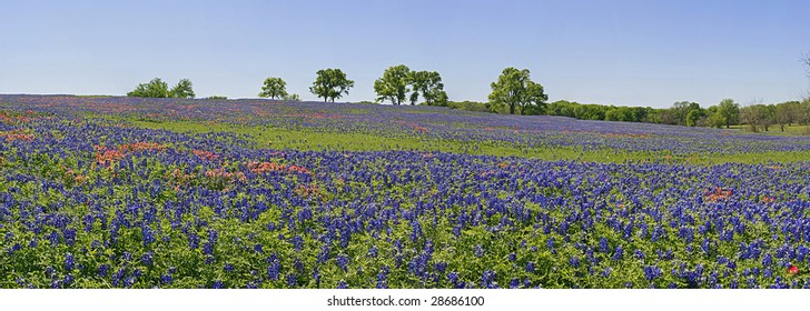 Landscape with wildflowers - bluebonnets and paintbrush