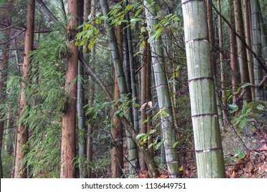 Landscape of woods walking path in Huangshan Scenic Area, Huangshan City, Anhui Province