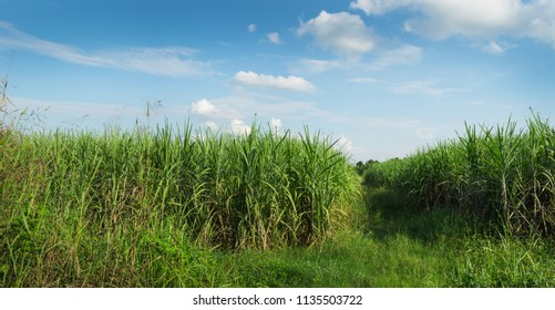 Landscape of young sugarcane farm, cloud and sky. Thailand