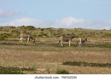 landscape of zebra in wildlife Park