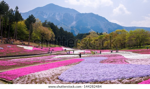 Landscaped fields of Shiba Sakura flowers in Japan