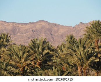 Landscapes of green palm trees in oasis in central Morocco in old village of Oulad near Zagora city, Atlas Mountains, clear blue sky in 2017 warm sunny winter day, northern Africa on February.