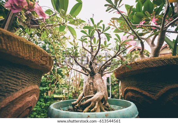 Landscaping Design Small Tree Bonsai Pot Stock Photo Edit Now 613544561