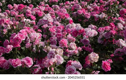 Landscaping and garden design. Spring blooming roses in the park. View of Rosa Dynastie flower bed flower clusters of fuchsia, pink and white petals blossoming in the garden.
