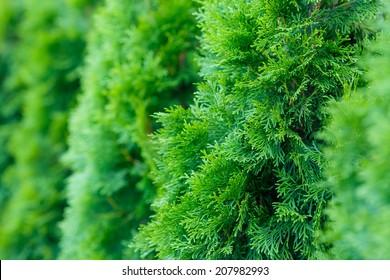 landscaping, Thuja
