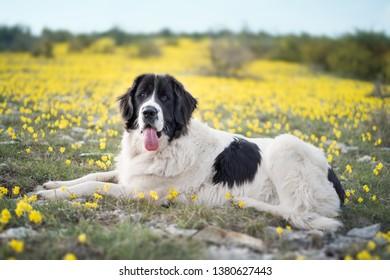 landseer dog pure breed