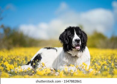 landseer dog pure breed ect