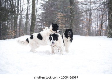 landseer dog pure breed in snow winter playing sport one
