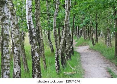 Lane along a birch tree wood
