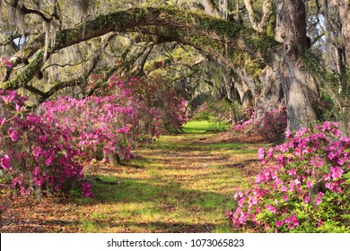 Lane of spring blooming azalea bushes under arched live oak trees draped with hanging Spanish moss at Magnolia Plantation in Charleston, South Carolina.