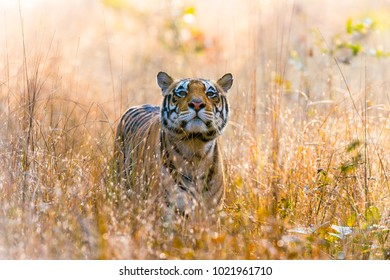 Langda. Wild male tigers from Kanha National park, India.