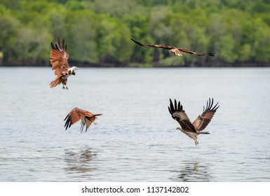 Langkawi eagles, Brahminy kite or red-backed sea-eagle flying over the waters of mangrove in Langkawi, Malaysia