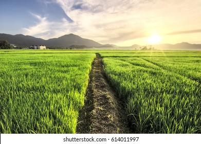 Langkawi paddy field at sunrise