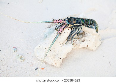Langouste on the piece of coral