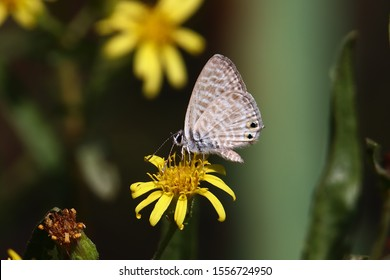 A Lang's short-tailed blue, aka common zebra blue (Leptotes pirithous) perched on a groundsel flower (Senecio vulgaris)