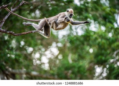 Langur with a cub jumping on a tree. Tufted gray langur (Semnopithecus priam), also known as Madras gray langur, and Coromandel sacred langur.