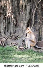 Langur (Indian monkey) next to banyan tree India
