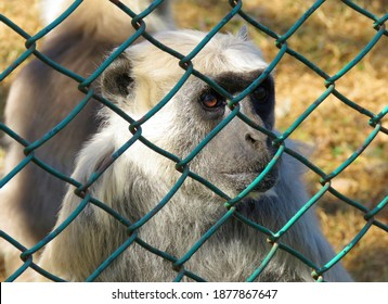 Langur Monkey in cage, Save Animal and let animal free from cage concept, animal cruelty, Langur Monkey closeup.