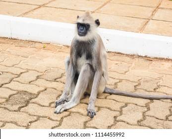 Langur monkey or gray langur or Hanuman langur (Semnopithecus entellus)  sitting on the pavement in Anuradhapura ancient city, Sri Lanka.