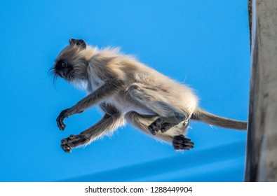 Langur monkey in jumping action