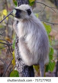 Langur monkey on tree