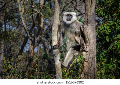 A langur monkey perched between two trees in Corbet National Park