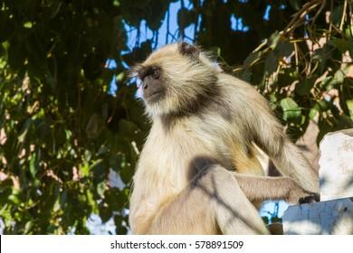 A langur monkey in a tree in Jodhpur, India