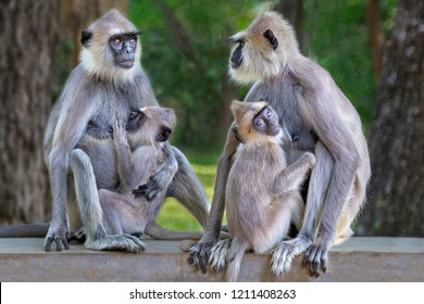 Langur monkeys in Sri Lanka