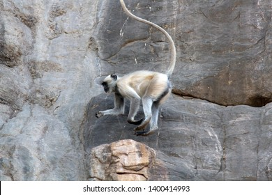 Langur on rocks. Monkey in the jump, flying (hanging) in the air