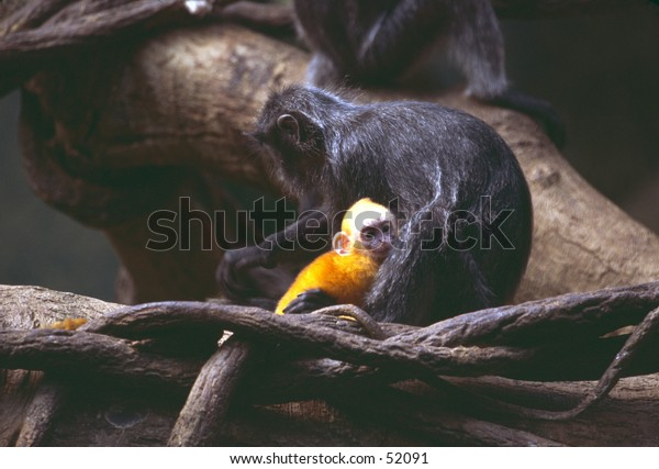Langur and yellow infant