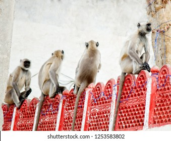 Langurs Hanuman sitting in row on fence in India, pack of monkeys. Hanuman God's Army - flying soldiers of Hanuman of vanara race, monkey parade