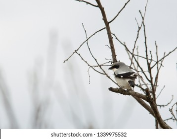 Lanius ludovicianus, Loggerhead Shrike perched on a persimmon tree limb in late winter