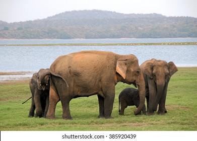 Lankesian Elephant Family (Elephas Maximus Maximus), Minneriya National Park, Sri Lanka