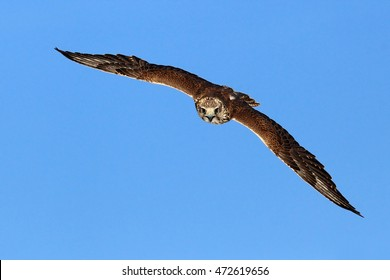 Lanner Falcon, bird of prey in the nature habitat, Germany. Bird in the flight with open wings. Action wildlife scene from the nature.