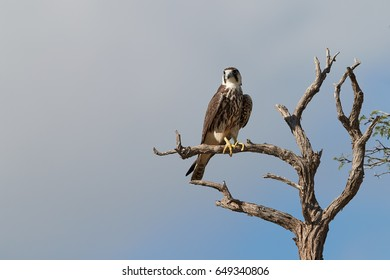 Lanner falcon, Falco biarmicus, bird of prey from Kgalagadi, perched on old tree against blue sky. Close up Kalahari raptor. Kgalagadi transfrontier park, Botswana.