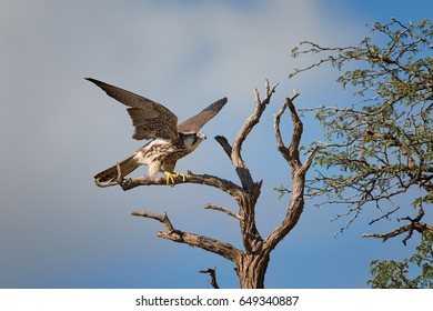 Lanner falcon, Falco biarmicus, bird of prey from Kgalagadi, flying from old tree against blue sky. Close up Kalahari raptor with outstretched wings. Kgalagadi transfrontier park, Botswana.