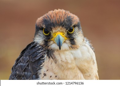 Lanner falcon - Falco biarmicus. Closeup portrait of Lanner falcon looking at camera. Beautiful bird of prey