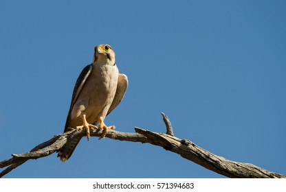 Lanner Falcon ( Falco biarmicus) Kgalagadi Transfrontier Park, South Africa