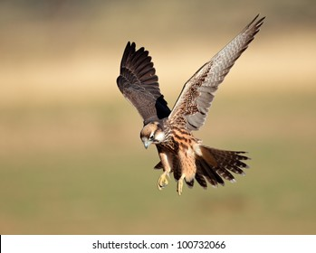 Lanner falcon (Falco biarmicus) landing with outstretched wings, South Africa