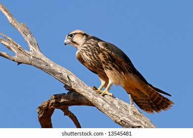 Lanner falcon (Falco biarmicus) perched on a branch, Kalahari desert, South Africa