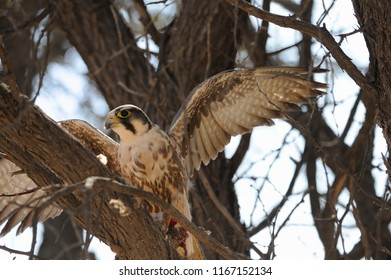 LANNER FALCON with prey roosts in a camel thorn tree, Kalahari, South Africa