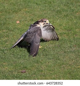 Lanner Falcon protecting it's food