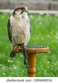 Lanner Falcon sitting on a perch