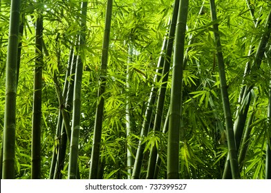 Lanscape of bamboo tree in tropical rainforest, Malaysia