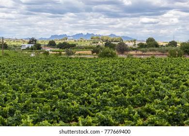 Lanscape with vineyards,Penedes wine cava region,at background Montserrat mountain.Vilafranca del Penedes,Catalonia,Spain.