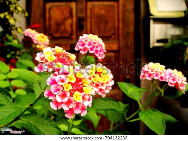 Lantana Camara Flower Infront Old Japanese Stock Photo Edit Now