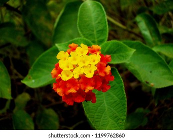 lantana camara flower, flower of verbenaceae, red and yellow lantana, red and yello grass flower, herb floer, indian lantana flower, big-sage, wild-sage, red-sage, white-sage, West Indian